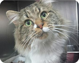 Maine Coon Cat for adoption in Hillside, Illinois - Emerson