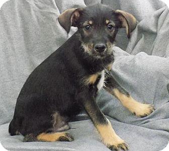 Schnauzer (Miniature) Mix Puppy for adoption in Minneapolis, Minnesota - Jackson