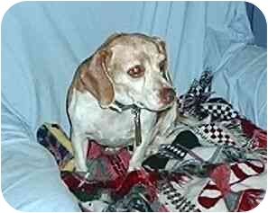 Beagle Dog for adoption in Cole Camp, Missouri - Tippy