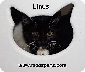 Domestic Shorthair Kitten for adoption in Danielsville, Georgia - Linus