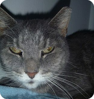 Domestic Shorthair Cat for adoption in Hamburg, New York - Molly Lee