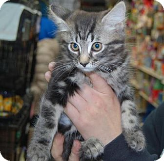 Domestic Shorthair Kitten for adoption in Brooklyn, New York - Samantha
