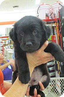 Retriever (Unknown Type)/Newfoundland Mix Puppy for adoption in Rocky Mount, North Carolina - Louie