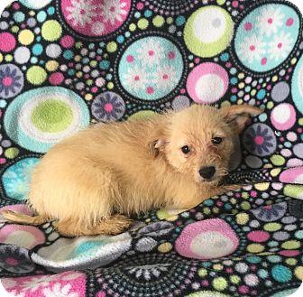 Schnauzer (Miniature) Mix Puppy for adoption in Lonedell, Missouri - Pokey