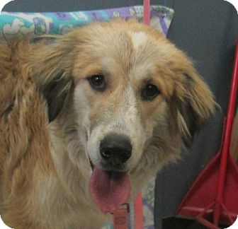 Great Pyrenees/Collie Mix Dog for adoption in Lloydminster, Alberta - Elliot
