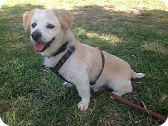 Terrier (Unknown Type, Small)/Cardigan Welsh Corgi Mix Dog for adoption in San diego, California - Morrey