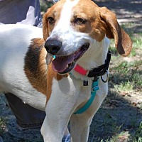 Hound (Unknown Type) Dog for adoption in Cherry Hill, New Jersey - Ace