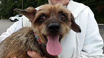 Terrier (Unknown Type, Small) Mix Dog for adoption in Brooksville, Florida - Bingo