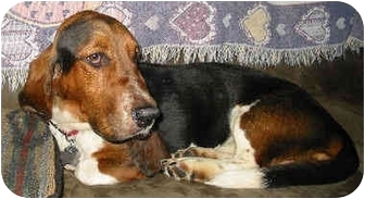 Basset Hound Dog for adoption in Phoenix, Arizona - Elmo