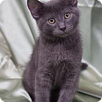 Adopt A Pet :: Frappucino - Lombard, IL