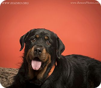 Rottweiler Mix Dog for adoption in Blacklick, Ohio - Frederick