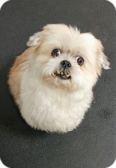 Shih Tzu Mix Dog for adoption in Fruit Heights, Utah - Chippy