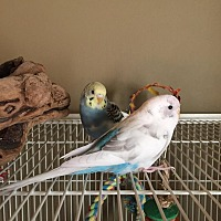Budgie for adoption in Stratford, Connecticut - Ariel and Dory