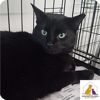 Domestic Shorthair Cat for adoption in Eighty Four, Pennsylvania - Talker