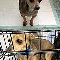 Chihuahua Mix Dog for adoption in Chantilly, Virginia - Nena