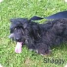 Adopt A Pet :: Shaggy