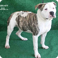 Adopt A Pet :: Spanky - Beverly Hills, CA