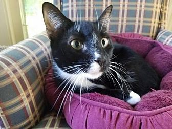 Domestic Shorthair Cat for adoption in Grand Blanc, Michigan - Tuxie