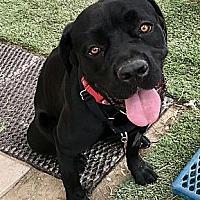 Adopt A Pet :: Cleo - Yakima, WA
