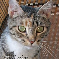 Adopt A Pet :: Spirit Female - Knoxville, TN
