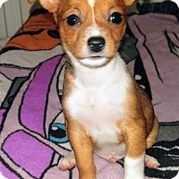 Adopt A Pet :: Bilbo a Taco terrier puppy - Arlington, WA
