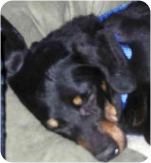 Dachshund Dog for adoption in Toronto/Etobicoke/GTA, Ontario - HELP SASSY