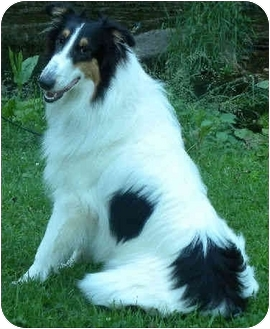 Collie Puppy for adoption in Minneapolis, Minnesota - Maleah