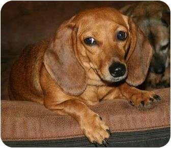 Dachshund Puppy for adoption in Londonderry, New Hampshire - Juniper
