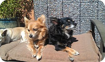 Chihuahua Dog for adoption in Simi Valley/ Los Angeles, California - Doc