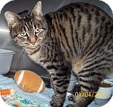 Domestic Shorthair Cat for adoption in Silver City, New Mexico - Synesthesia