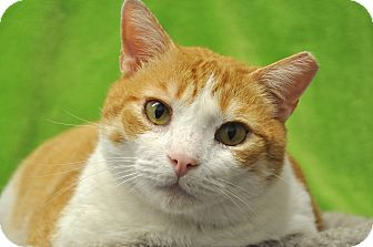 Domestic Shorthair Cat for adoption in Foothill Ranch, California - Stevey