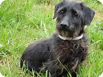 Dachshund/Terrier (Unknown Type, Small) Mix Dog for adoption in Syacuse, New York - Scully
