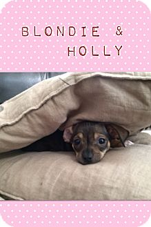 Chihuahua/Dachshund Mix Puppy for adoption in Brea, California - Holly