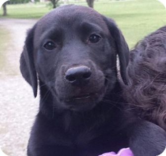 Labrador Retriever Mix Puppy for adoption in East Windsor, Connecticut - Nala-adoption in progress