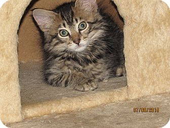 Domestic Mediumhair Kitten for adoption in Southington, Connecticut - Carlos