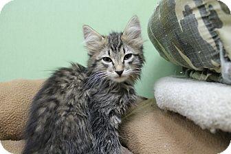 Domestic Mediumhair Kitten for adoption in Benbrook, Texas - Yogurt
