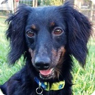 Dachshund Dog for adoption in Houston, Texas - Cade Cactus