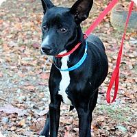 Adopt A Pet :: Kelso - Naugatuck, CT