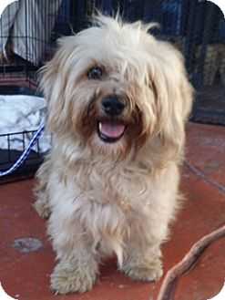 Maltese/Terrier (Unknown Type, Small) Mix Dog for adoption in Homestead, Florida - Missy