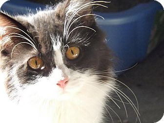 Domestic Longhair Cat for adoption in Greenville, Kentucky - Riley