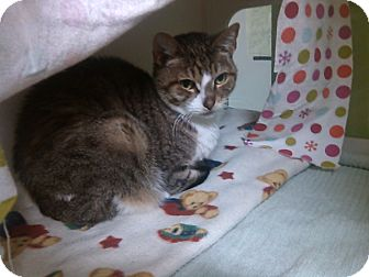 Domestic Shorthair Cat for adoption in Muskegon, Michigan - oliver