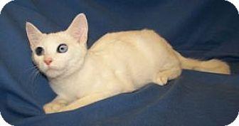 Domestic Shorthair Cat for adoption in Colorado Springs, Colorado - Keanu