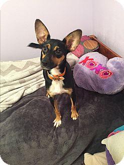Feist Mix Dog for adoption in Hazard, Kentucky - Lady