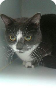 Domestic Shorthair Cat for adoption in THORNHILL, Ontario - Polly