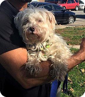 Maltese Dog for adoption in Freeport, New York - Conner