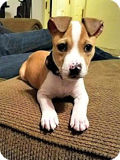 Pit Bull Terrier Mix Puppy for adoption in Chesapeake, Virginia - Patty