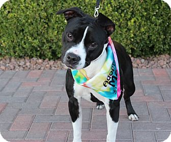 Pointer/American Pit Bull Terrier Mix Dog for adoption in Las Vegas, Nevada - PHIFFANY