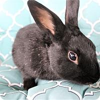 Adopt A Pet :: Bojangles - Hillside, NJ