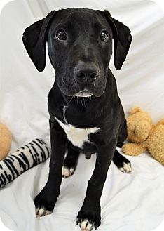 Labrador Retriever Mix Puppy for adoption in Michigan City, Indiana - Tony