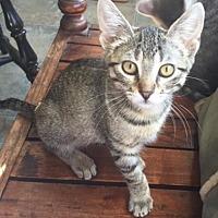Adopt A Pet :: Pixie 4 - Bulverde, TX
